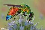Imenotteri- Hymenoptera