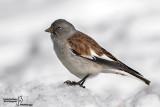 Emberizidae-Passeridae