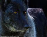 001_sedona-wolf-week-plan-b.jpg