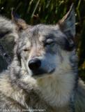 003_sedona-wolf-week-plan-b.jpg