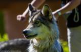 016_sedona-wolf-week-plan-b.jpg