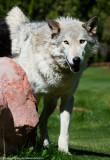 019_sedona-wolf-week-plan-b.jpg