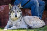 020_sedona-wolf-week-plan-b.jpg