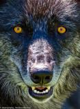 036_sedona-wolf-week-plan-b.jpg