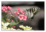 Papillons  (Butterflies) - Libellules (Dragonflies) -  Insectes (Insects)