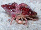 Candy Striped Hermit Crab, Pylopaguropsis mollymullerae