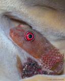Clingfish w/ Eggs