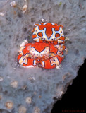 Gaudy Clown Crabs