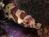 Harlequin Pipefish