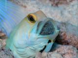 Yellowhead Jawfish with Eggs