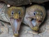 Viper Moray Duo