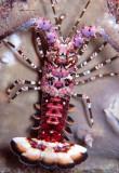Juvenile Lobster