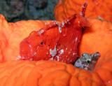 Frogfish & Sharpnose Puffer