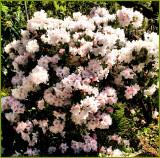 Pink Rhodees.jpg
