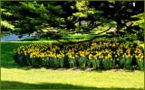 spring daffodills.jpg