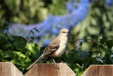 Nothern Mocking Bird.JPG