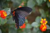 Butterfly - Tam Coc, Ninh Binh