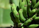 Canarian banana