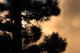 Canary pine