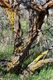 Lichens on Sagebrush
