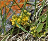 Creeping Oregon-grape, Mahonia aquifolium