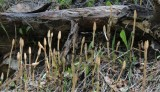 Spore-production, Equisetum hyemale
