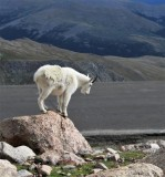 Goat on the Rocks