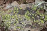 Sun-loving Lichen
