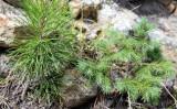 Pine and Douglas-fir