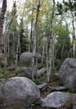 Young Aspens in a Boulder Field