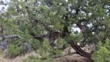 A Utah Juniper