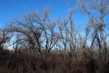 Plains Cottonwoods