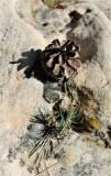 Ponderosa Pine--at 2 Inches