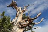 Reaching Bristlecone Pine