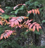 Mountain-ash Showing Off
