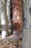 Spruce in Aspens