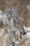 great gray owl 021018_MG_0887