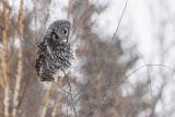 great gray owl 021018_MG_0906