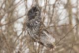 great gray owl 021018_MG_0968