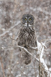 great gray owl 030318_MG_6161