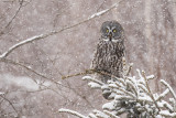 great gray owl 030318_MG_6248