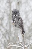 great gray owl 030318_MG_6592