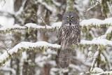 great gray owl 030318_MG_7129