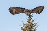 great gray owl 031018_MG_7735