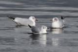 Bonaparte's Gull, Cardwell Bay, Clyde