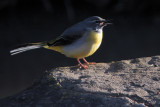 Grey Wagtail, Brookhouse, Yorkshire
