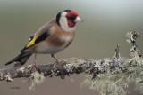 Goldfinch, RSPB Lochwinnoch, Clyde