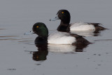 Scaup (male), Strathclyde Loch, Clyde