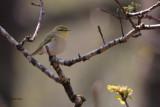 Wood Warbler, RSPB Inversnaid-Loch Lomond, Clyde