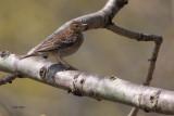 Tree Pipit, RSPB Inversnaid-Loch Lomond, Clyde